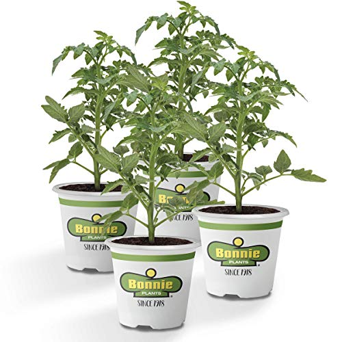 Bonnie Plants Husky Cherry Red Tomato Live Vegetable Plants - 4 Pack, Non-GMO, Bite Sized, Disease Resistant