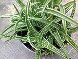 Succulent plant, Aloe Hybrid Firebird.