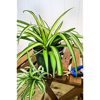 PlantVine Chlorophytum comosum, Spider Plant - Large, Hanging Basket - 8-10 Inch Pot (3 Gallon), Live Indoor Plant : Garden & Outdoor