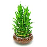 Loss Promotion!6 Kinds Lucky Bamboo Choose Potted Seeds Variety Complete Dracaena Seeds the Budding Rate 95%, 100 Seed/Lot,#EUSH