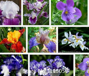 Promotion Iris Seeds Bold Colors Bearded Iris Collection Seeds Colorful Flower Seeds Pack Home Garden Flower Plants 100Pcs Novel