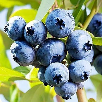 Chandler Blueberry Bush - Edible Berry - Hardy Perennial - Gallon Pot - 1 Plant from Grandiosy Farm : Garden & Outdoor