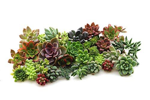 Shop Succulents Assorted Live Succulent Plant Cuttings (45) by Shop Succulents