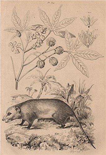 (Manicou/Didelphis American Opossum. Bicolor ears. Marsupial. Manioc/Cassava - 1834 - old print - antique print - vintage print - Marsupials art)