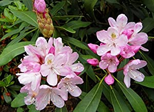 Amazon Com 50 Rosebay Rhododendron Maximum White Pink