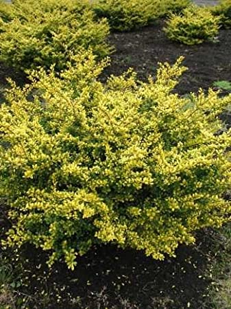 Variegated Japanese Sleeve Ilex Crenata Golden Gem 40 50 Cm Wide