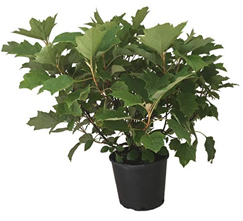 Alice Oak Leaf Hydrangea - Hydrangea Qu. Alice - 3 Gallon