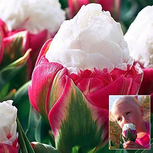 Lulan Tulip Bulb Double Petal Pink White Ice Cream Tulip Bulb Garden Courtyard Tulipa Gesneriana 4 - 20 Light Tulip Bouquet