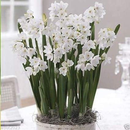 Amazon 25 Paperwhite Narcissus Ziva Bulbs Fragrant Snow