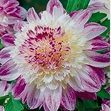 1 Powder-Puff Anemone Dahlia Que Sera Pink White Fuchsia - Bulb Clump Tubers