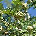 12 OVERCUP OAK ACORNS - Quercus lyrata