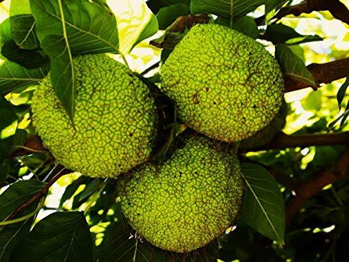 (100 Seeds: maclura pomifera Seeds, Osage Orange, USA, Frost-Hardy, Wood for Long Bow)
