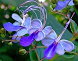 Diamonds Perennial Clerodendrum Ugandense, Blue Butterfly Potted Plant, SeedsBulbsPlants&More
