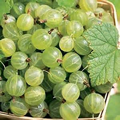 GOOSEBERRY PIXWELL-(1) 1Year Hardy Fruit Plant Stock Live Fruit Plants