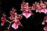 Orchid Insanity -- Oncidium Sharry Baby -- CHOCOLATE FRAGRANCE very popular, easy to grow and bloom! SEEDLING SIZE OFFERED. NOT IN BLOOM/BUD WHEN SHIPPED