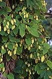 Humulus lupulus CASCADE HOPS Vine