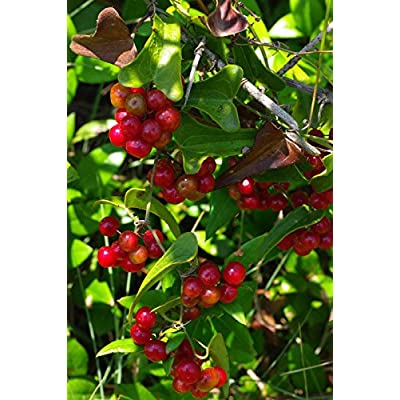 5 Sarsparilla Seeds Smilax Aspera -American Grown : Garden & Outdoor