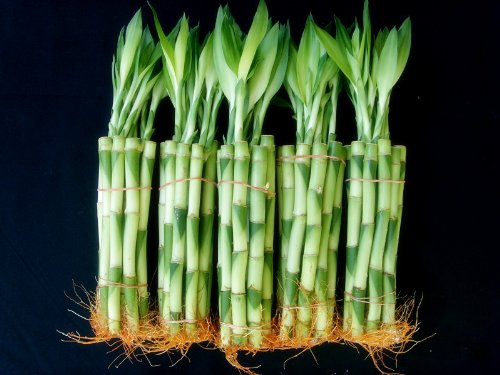 50 Stalks (5 Bundles) of 8 Inches Straight Lucky Bamboo Plants From Jm Bamboo by JM BAMBOO (Image #3)