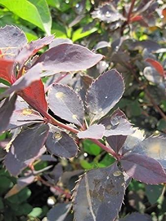 Essigbeere Sauerdorn Berberis vulgaris Gew/öhnliche Berberitze