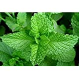 Organic Herb-Peppermint 50+ Vegetable Seed Perennial hot rich mint aroma