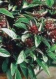 Tropica - Hierbas - Thai - Albahaca (Ocimum basilicum) - 200 Semillas