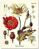 Opium Poppy Plant - 11x14 Unframed Art Print