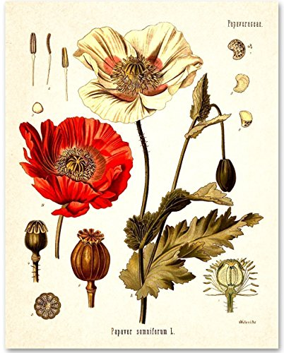 Opium Poppy Plant - 11x14 Unframed Art Print from Personalized Signs by Lone Star Art