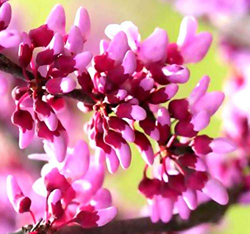 Big Pack - (500) Eastern Redbud Tree Seeds - Cercis Canadensis - Gorgeous Purplish-Pink Blossoms - Very Cold Hardy Zones 4-9 - Big Pack Seeds by MySeeds.Co (Big Pack - Eastern Redbud)