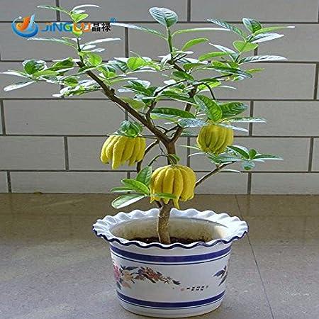 Citrus medica  sarcodactylis Zitronenbaum Buddhas Hand Pflanze 80 cm