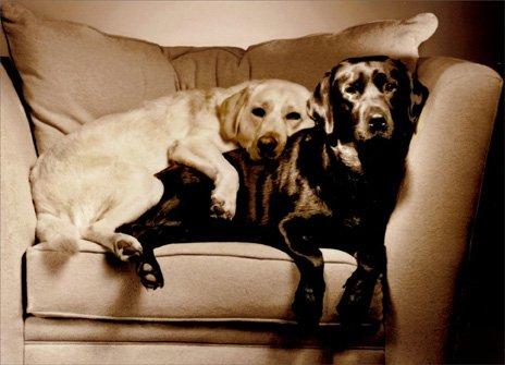 (2 Labs in Overstuffed Chair Black Labrador Retriever Love Card)