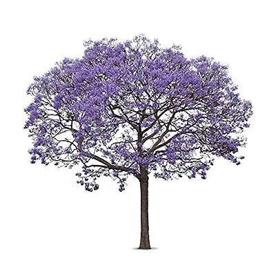 Blue Jacaranda Tree Seeds (Jacaranda mimosifolia) 30+Seeds : Garden & Outdoor