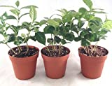 Coffee Plant Pot 4'' pot (Pack of 3) unique from jmbamboo