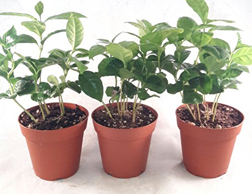 Coffee Plant Pot 4'' pot (Pack of 3) unique from jmbamboo by JM BAMBOO (Image #3)'