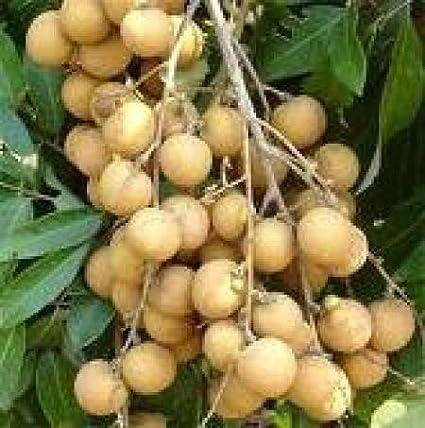 30 Seeds Tropical Asian Thai Longan Fruit