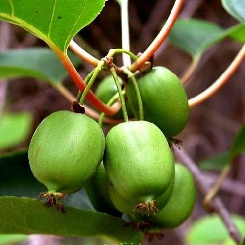 PLAT FIRM SEMILLAS DE GERMINACION: Issai Kiwi Vine - Hardy - Variedad femenina fructífera - Fácil de cultivar - Olla de 2.5' PC STURDY