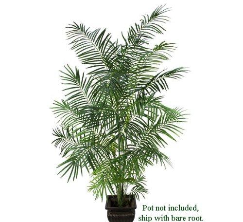 Tropical Areca Palm Tree - 3