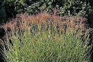Zebra Grass, Maiden Grass Seeds - Miscanthus sinensis -