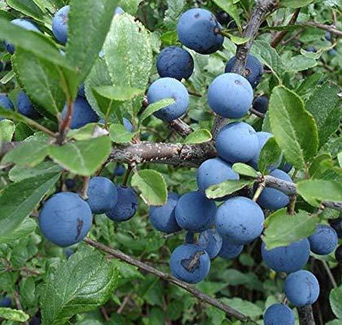 25 sloeberry Blackthorn Seeds, Sloe Gin, Hedging Trees, 25 Sloe Berry Seeds