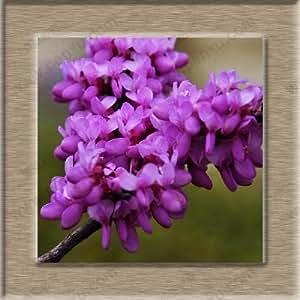 Hong Kong Orchid Tree Seeds Bauhinia bonsai tree seeds 50 Seeds (Item No: 3)