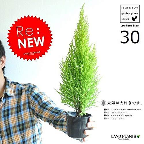 LAND PLANTS ゴールドクレスト 3号 (30本セット) 苗木 コニファー B07KRSLQ5F