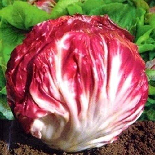 100 semillas / pack semillas de achicoria de col roja la venta de ...