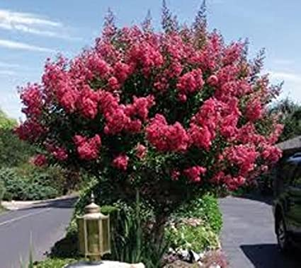 Amazon tuscarora dark pink crape myrtle trees 3 gallon tuscarora dark pink crape myrtle trees 3 gallon mightylinksfo