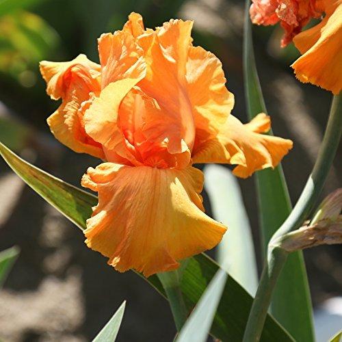 Iris Rhizomes - Reblooming Bearded Iris Concertina Early Season Blooming - 1 Large Rhizome - Blooms Twice in One Year | Ships from Easy to Grow