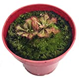 Spoonleaf Sundew Plant -Drosera spathulata- Carnivorous For Sale