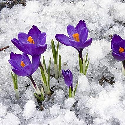 Amazon Com True Saffron Crocus Bulbs Iran Saffron Seed Not