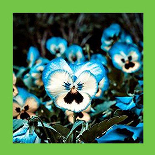 Eine Packung 100 Stück Light Blue Cornflower Samen Balkon Garten Blumen Topf Bonsai-Pflanzen-Samen Dach-Hauptaurea Blumensamen