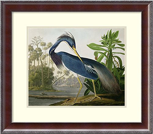Framed Art Print 'Louisiana Heron, from 'Birds of America', Engraved by Robert Havell, 1834' by John James Audubon: Outer Size 26 x ()