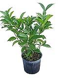 PlantVine Tabernaemontana divaricata, Crape Jasmine, Florida Gardenia, Tabernaemontana coronaria - 10 Inch Pot (3 Gallon), Live Plant