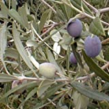 Mission Olive Tree Live Plant Cold Hardy Fruit 1-2'