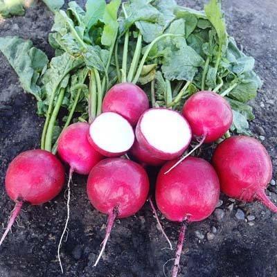 Radish Red Jewel F1 Seeds - Vegetable Seeds Package - 5,000 Seeds by HARRIS MORAN